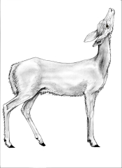Deer 2 browsing up